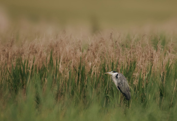Héron cendré dans un champ de blé