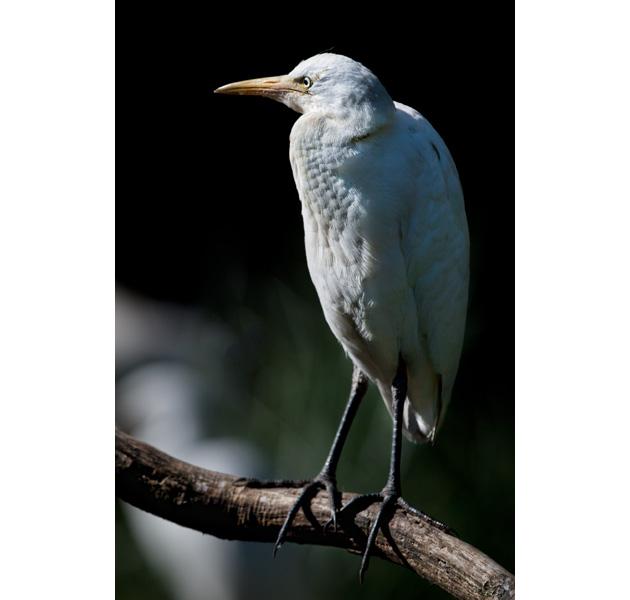 http://cdn.darth.ch/wp-content/uploads/2011/04/oiseaux-echassiers-heron.jpg