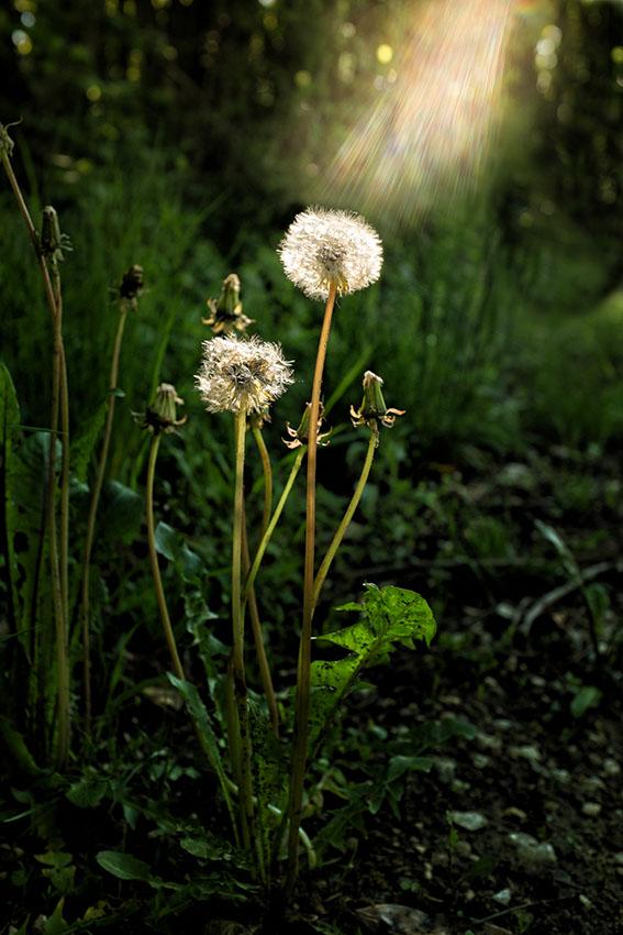 fleur-rayo