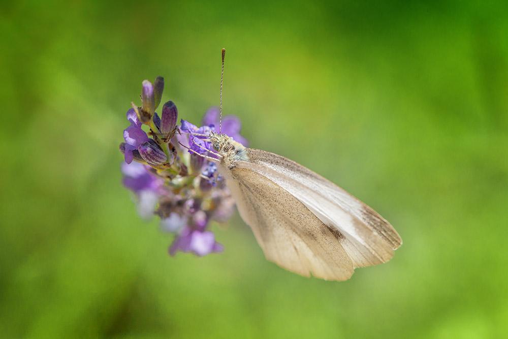 sigma-papillon
