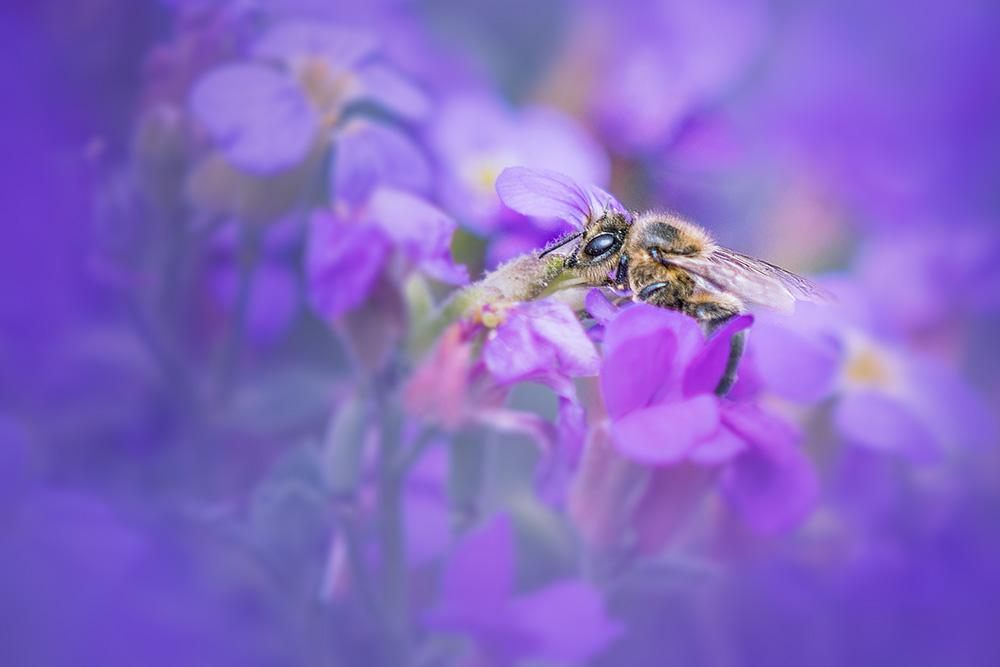abeille-80d