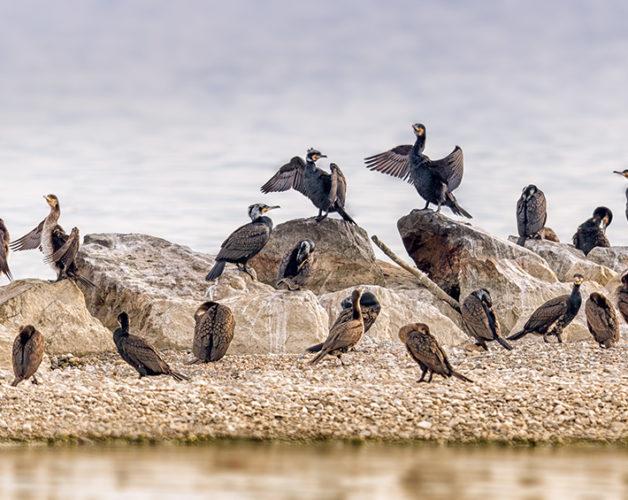 http://cdn.darth.ch/wp-content/uploads/2016/06/cormoran-ile-aux-oiseaux-628x500.jpg