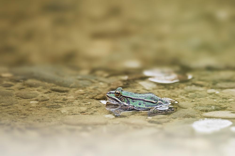 grenouille-jaune-vert-nikon-d5