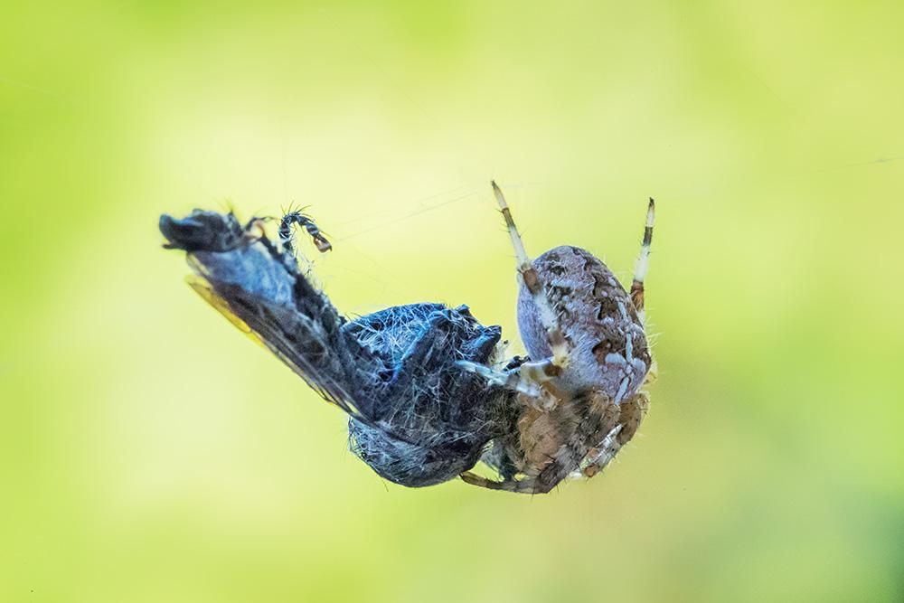 spider-miam